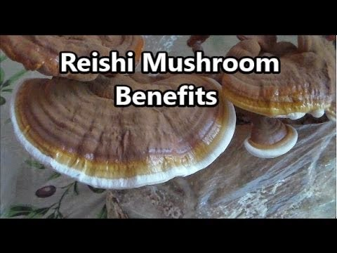 Reishi tea may be a potent and viable cancer fighter