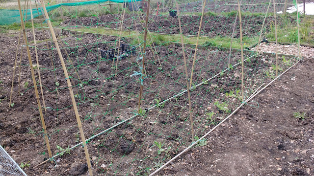 Allotment and greenhouse progress in spring