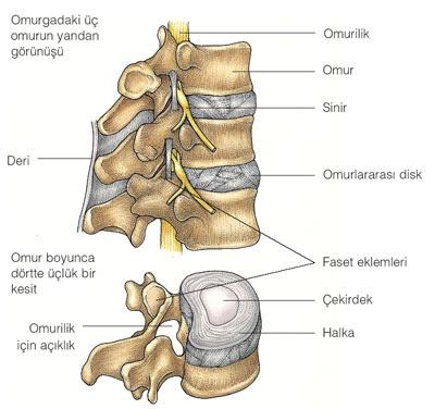 Omurganın anatomisi