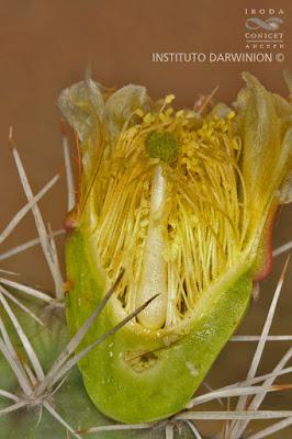 Ayrampu (Opuntia sulphurea)