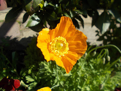 Poppy Chelsea Flower Show Green Fingered Blog