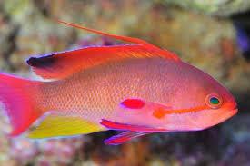 Dunia Ikan Hias - Lyretail Anthias