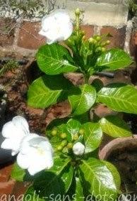 chandini-flower-.jpg