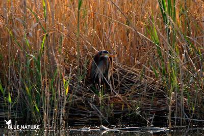 La Reserva de Fauna Laguna de San Juan es un lugar perfecto para observar a la garza imperial (Ardea purpurea).
