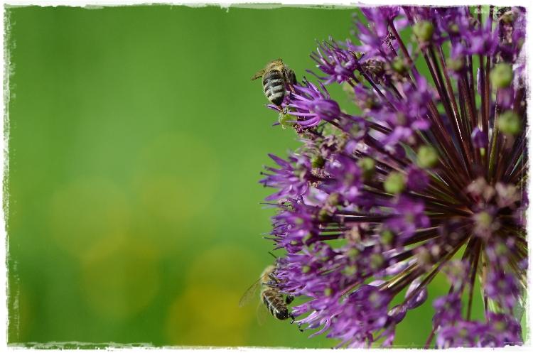 abeilles a miel sur fleur d'allium