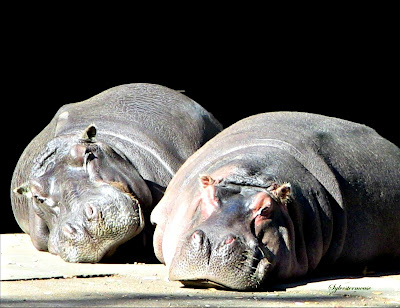Hippopotamus Facts and Photos