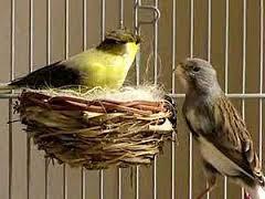Cara Mengetahui Burung Kenari Sudah Jodoh Atau Belom - Solusi Penangkaran Burung Kenari