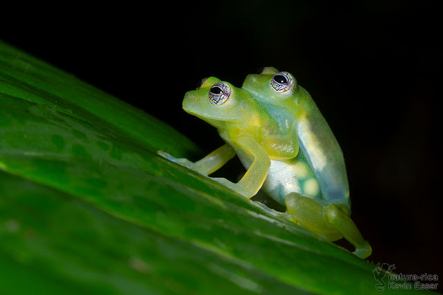 Teratohyla spinosa - Spiny Glass Frog