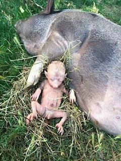 सुवर ने इंसानी बच्चे को जन्म दिया, फोटो वायरल हो रहा