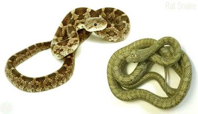 Rat snake, দাঁড়াশ সাপ