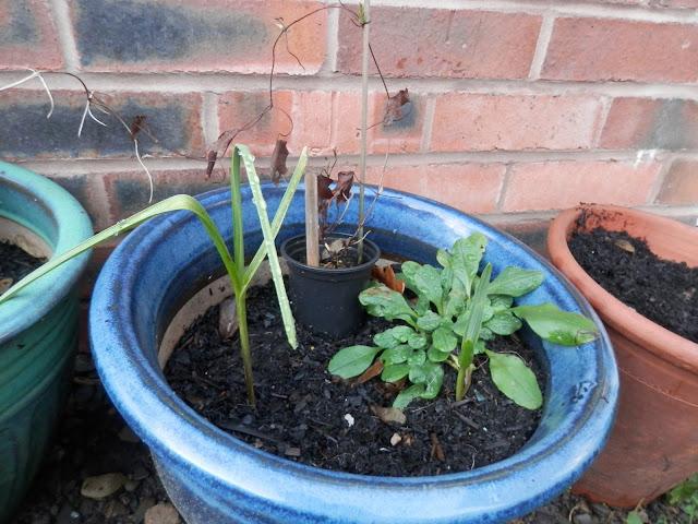 Diary of a suburban edible garden, January 2017. By UK garden blogger secondhandsusie.blogspot.com #gardening #garden #suburbangarden #ediblegarden #composting #nodig