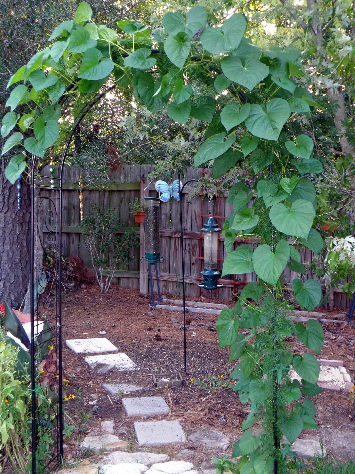 Garden Bush: My Carolina Yard: Moonflower Vine- A Plant For An Evening