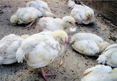 Penyakit Ayam Broiler Dan Pencegahannya