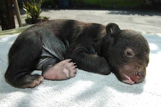 Cara Memelihara Beruang Madu