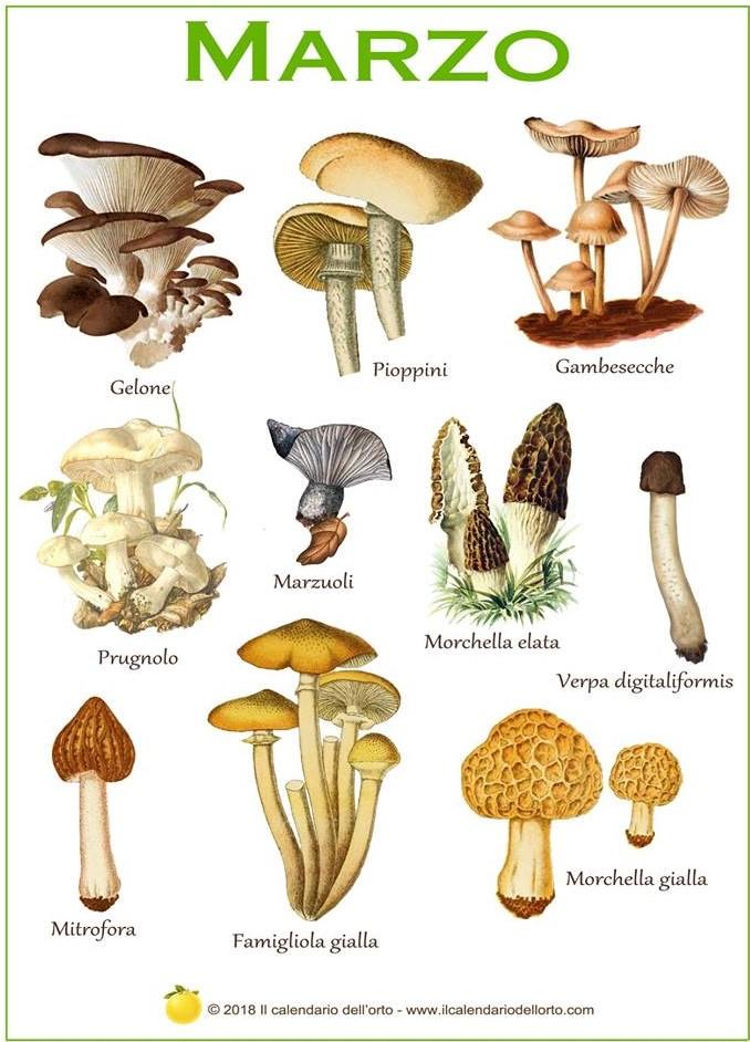 funghi di marzo