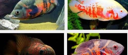 Ini Dia Jenis Ikan Oscar, Cara Merawat, Serta Harganya yang Sangat Murah