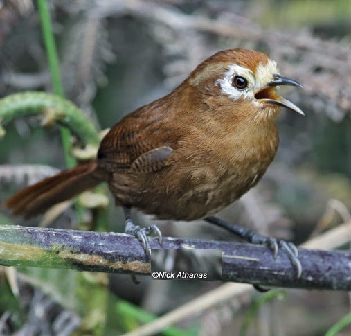 Peruvian wren bird song