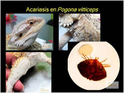Acariasis en Pogona vitticeps