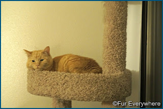 Carmine hangs out in his cat tree.