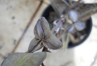 semillas de aloe variegata