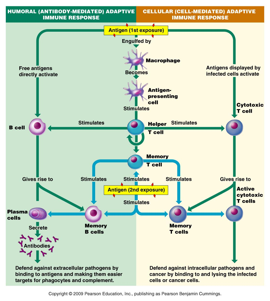 Immunology I THE PHYSIOLOGY OF THE IMMUNE SYSTEM The