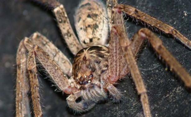 Dünyanın En Tehlikeli  ve Büyük 10 Zehirli Örümceği - Liken Avcı Örümceği
