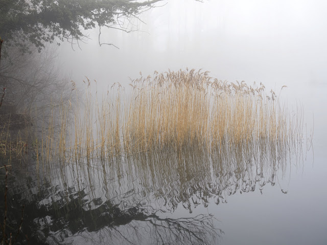 Bed of reeds in the mist