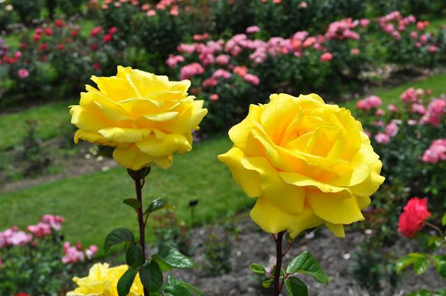 زهرتان باللون الاصفر وسط الحديقة