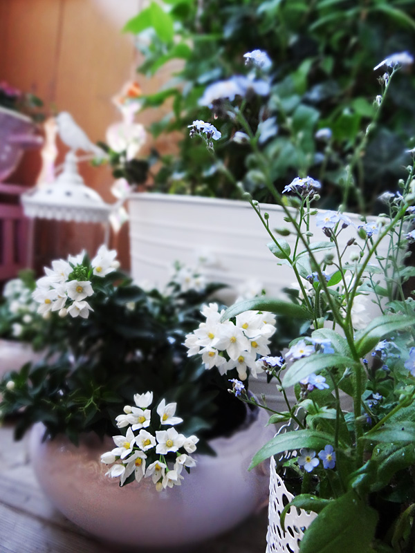 pinker jasmin pflanze
