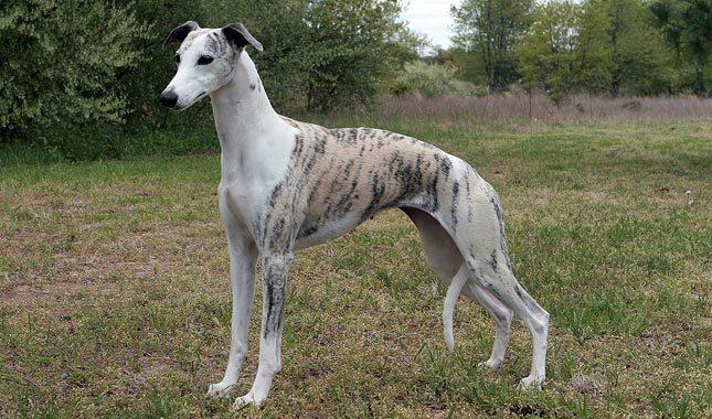 Cão da Raça Whippet | Whippet Dog