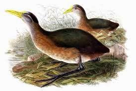 New Guinea flightless Rail