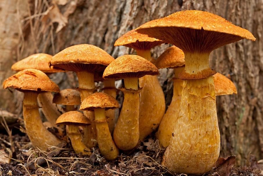 Gymnopilus spectabilis el hongo de la risa simplemente for Como se cocinan los hongos