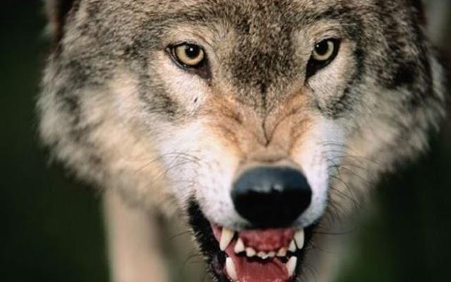 Σκηνές τρόμου μετά από επιδρομή αγέλης λύκων σε κοπάδι στην Ήπειρο- Η κτηνοτρόφος δεν πίστευε στα μάτια της