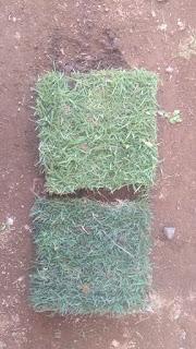 Rumput manila dan bermuda swiss