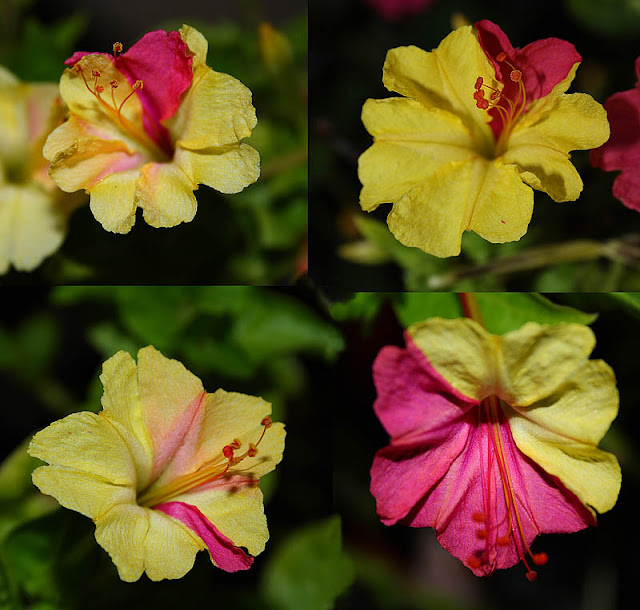 Mirabilis jalapa (The four o'clock flower) pale yellow-pink flowers close-ups
