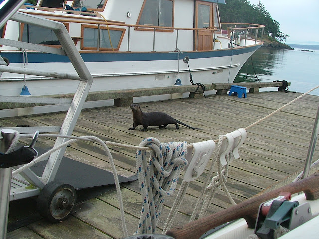 Sea Otter on James Island dock