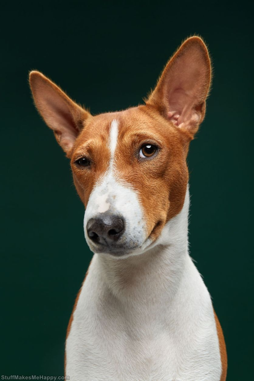 4. A very ironic Basenji named Fiji will always find a catch in everything