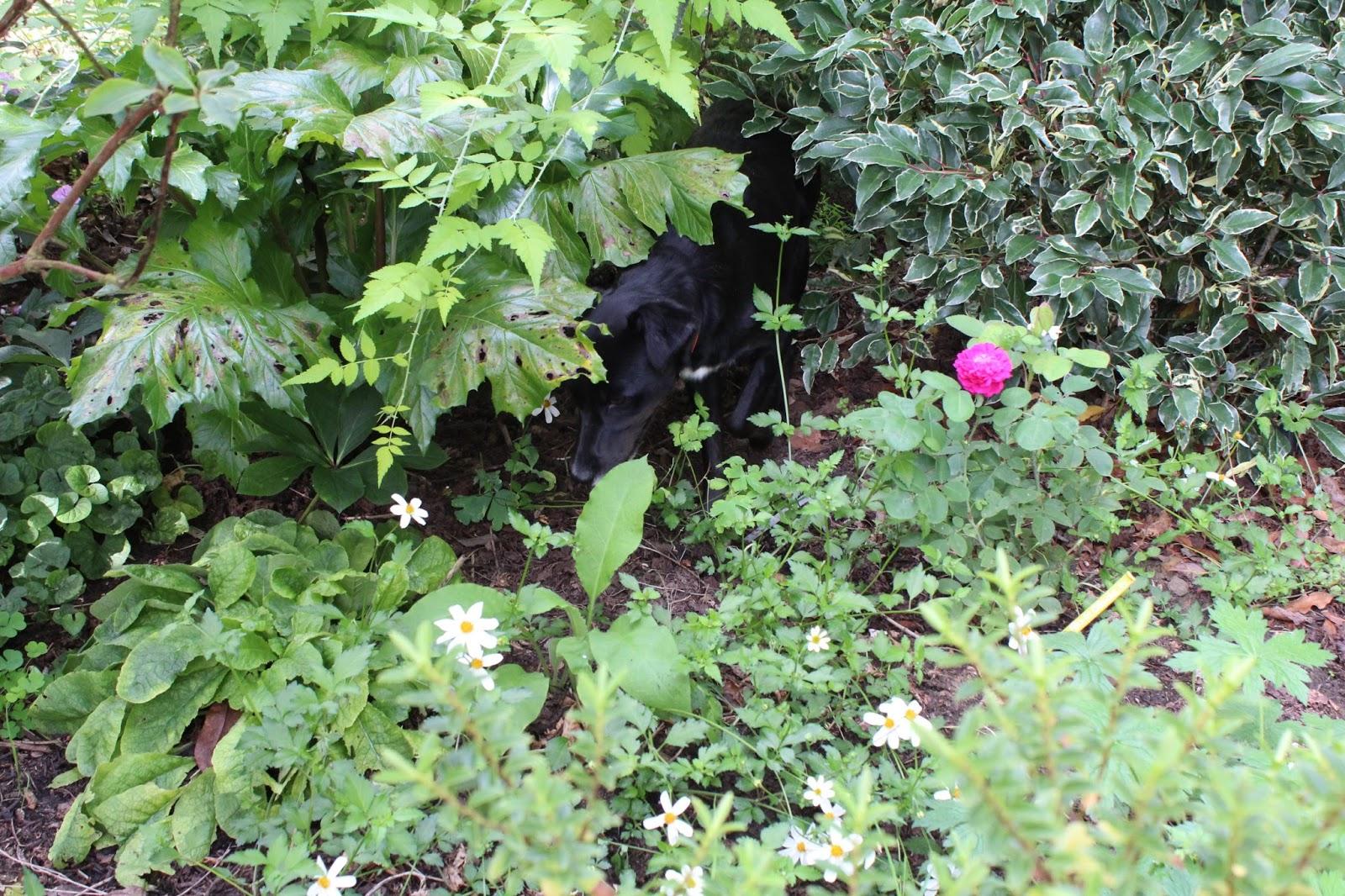 Chambres d 39 h tes au jardin des violettes rosier de damas for Rosier grimpant pour mi ombre