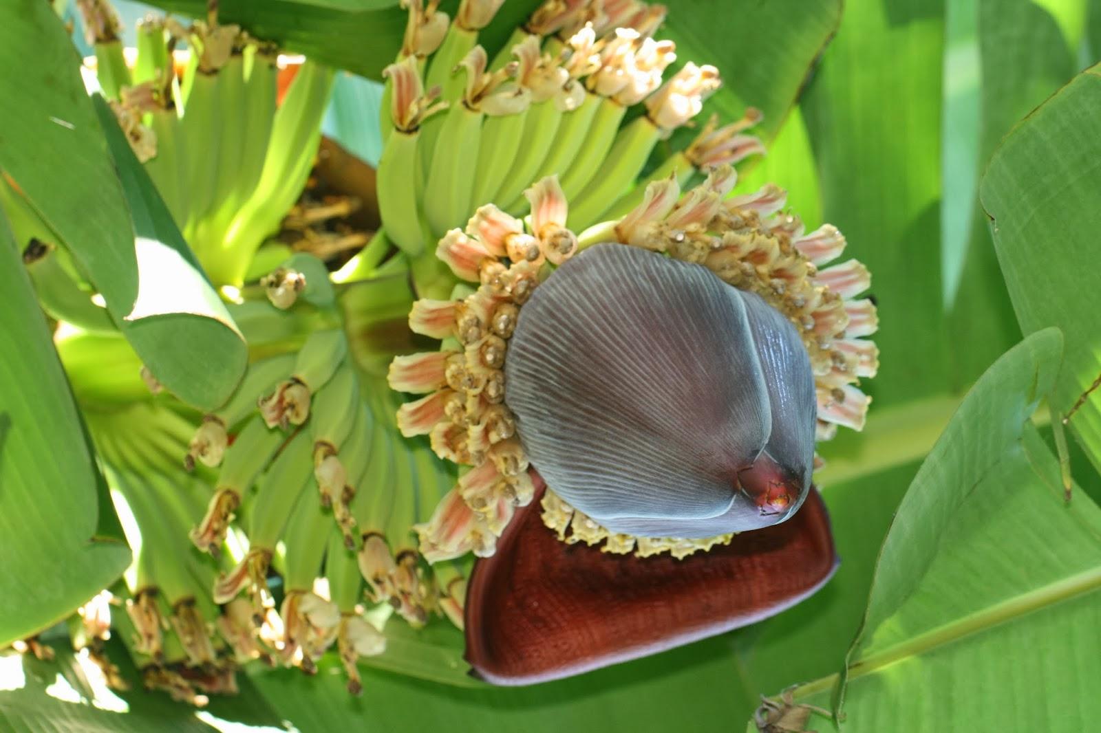 Image result for cavendish fruit