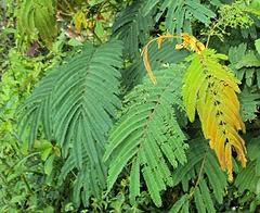 inilah foto daun sengon yang bermanfaat