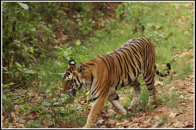 Mother of 2 young cubs, Kanha National Park