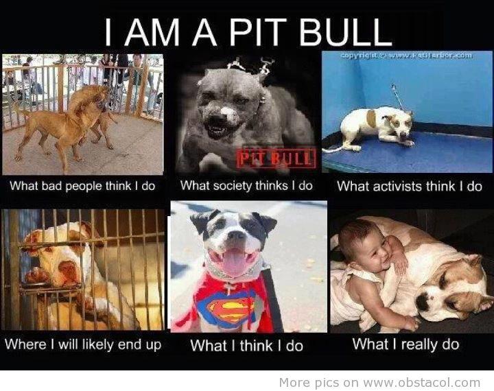 100+ Pitbull Memes – yasminroohi