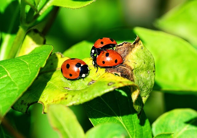 Ladybugs are helpful insects.