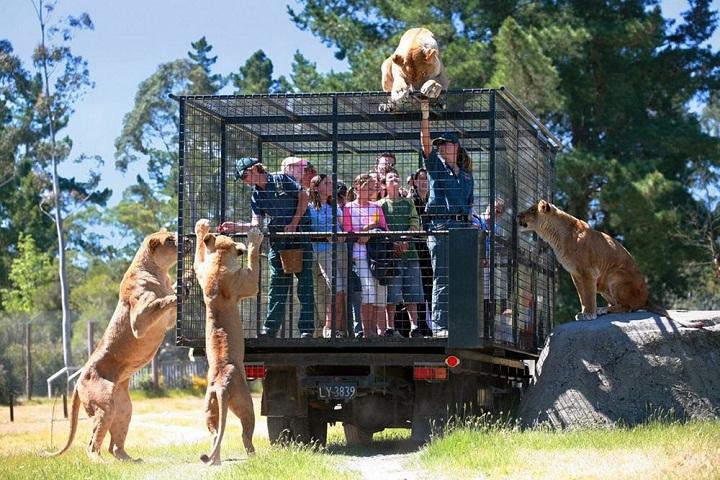 Bercengkrama-dengan-Singa-di-Orana-Wildlife-Park-Christchurch-Selandia-Baru