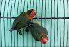 Kecantikan Lovebird Dark Green dan Ciri-cirinya