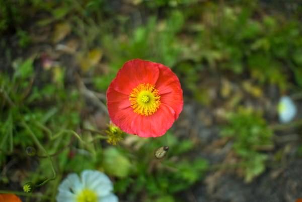 ポピーの花の写真