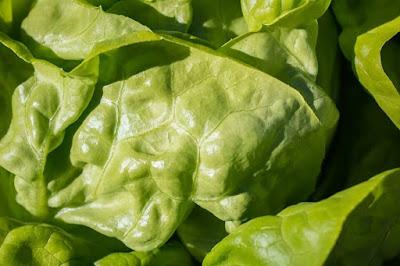 Peluang Usaha Sayuran Daun Lotus alias Selada Lettuce