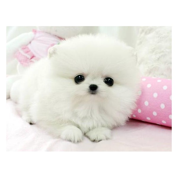 baby pomeranian dog cute puppy dogs white pomeranian puppies 5239