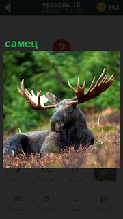 На поляне лежит большой самец лось с крупными рогами