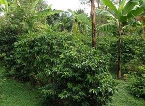 merawat-tanaman-kopi-arabika.jpg